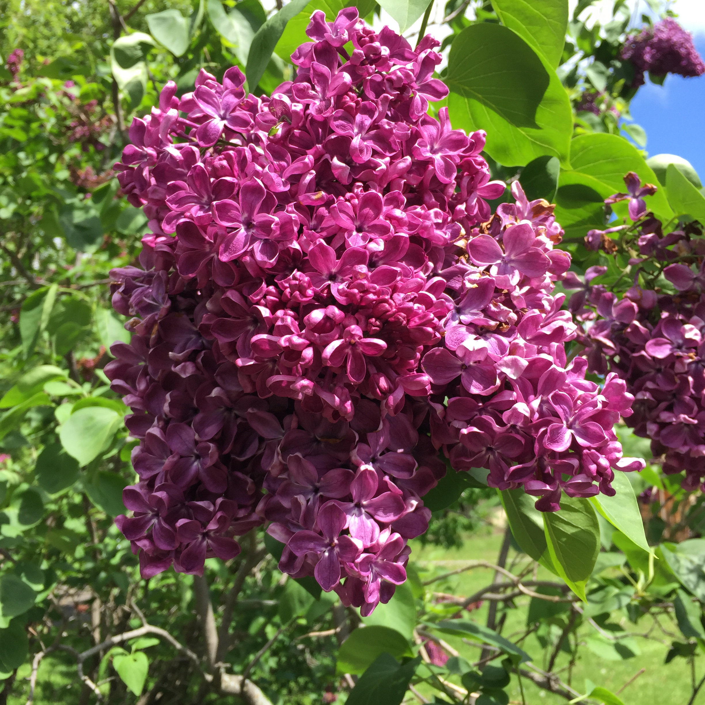 Lilac are early to bloom and quickly over. Sort of like our lives in the larger frame of the universe.